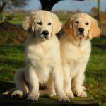 Kaidyn en haar nestzusje Soof (Rocksett Eighteen Karat Gold) als pup