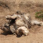 Roman aan het 'paneren' in het zand!