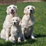 Heel bijzonder, 3 generaties: (o)ma Yacime, puppy Dyonne en diens mama Venice
