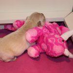 De pupjes gaan steeds vaker op een speeltje liggen, hier reutje 'blauw'