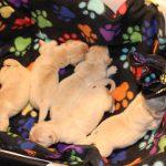 Tijdens het schoonmaken van de werpkist moeten de pups eventjes in de wasmand
