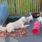 Venice's dochter Dyonne is inmiddels ook een geliefd speelmaatje van de pups