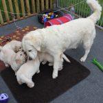 Elke dag weer wil Venice bij de pups om met ze te spelen