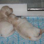 Reutje 'blauw' en teefje 'geel' samen slapen