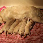 Ze worden groot, daar ligt toch al een stel flinke pups!