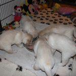 Uit de grote schaal eten kunnen de pups nu ook, allemaal netjes verdeeld
