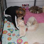 Mijn zus helpt mee en ontfermt zich ook even over de pups