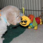 Op zondag heb ik nog wat extra geinige dingetjes voor de pups geregeld, waaronder een touw met bungelend speelgoed