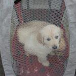 Socialisatie: in dit karretje zitten reutje 'blauw' (achter) en teefje 'roze)
