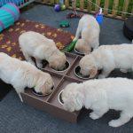 De pups hebben inmiddels ook geleerd om uit individuele bakjes te eten.