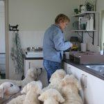 Ik ben bezig met het voer voor de pups en heb er zo maar opeens 6 'fans' bij ;-)
