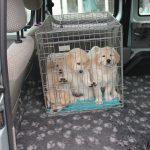 Socialisatie en noodzaak: met de auto naar de dierenarts voor een titerbepaling