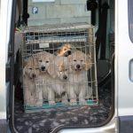 Socialisatie: opnieuw met de auto maar nu om een veel leukere reden dan de dierenarts...