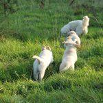 Socialisatie: als Skylar wat verder gaat durven de pups ook wel een stukje mee