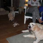 En daarna in de woonkamer, tussen de grote honden, rondhuppelen
