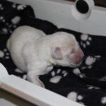 De komende 3 weken worden de pups elke ochtend gewogen om hun groei in de gaten te houden; hier op de weegschaal teefje 'roze'