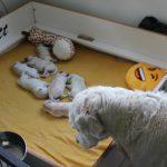 De halfzus van Skylar, Venice, is net als de vorige keer hévig geïnteresseerd in de pups!