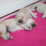 Het contact-liggen is héél belangrijk voor honden en dat doen ze dan ook veelvuldig. Elke keer weer aandoenlijk om te zien!