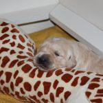 Het leven van een 12 dagen oude pup valt niet mee! ;-)