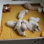 De twee pups vooraan doen een poging om met elkaar te spelen en rechts is duidelijk te zien dat reutje 'rood' geluid aan het produceren is ;-)