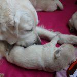 Het verzorgen van de pups - hier reutje 'blauw' - is een belangrijk onderdeel en dat doet Skylar fantastisch!