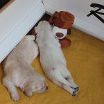 En na al dat spelen... lekker slapen! (reutje'geel' en teefje 'roze')