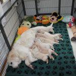 De werpkist is verruild voor de puppyren en net als altijd zorg ik ervoor dat mama er diréct bij ligt voor het vertrouwde gevoel