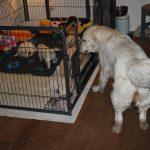 Kijk dat vrolijke staartje van Kaidyn, ze vindt de pups geweldig!