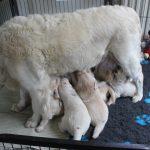 Weer een mooi voorbeeld van een natuurlijk proces; op een gegeven moment gaan de mama's niet zo vaak meer liggen maar voeden ze de pups zittend of zelfs staand