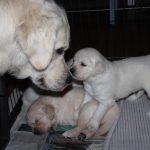 Als je goed kijkt zie je het tongetje van Kaidyn; ze geeft de pups regelmatig kusjes! (hier reutje 'rood')