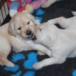 De pups spelen inmiddels al veel gecontroleerder en ze zoeken elkaar er bewust voor op