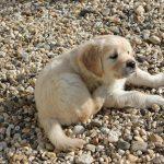 De pups hebben nu bandjes om in plaats van een stipje op hun kontje, maar zo'n bandje is wel erg wennen!