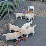 De pups zijn inmiddels zo gegroeid dat er een tweede schaal bij is gekomen om uit te eten, en dat doen we als het even kan het liefst lekker buiten!