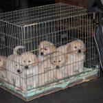 Eenmaal binnen zitten daar toch zeven heel relaxte pups!