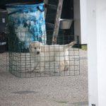 De pups werden achter een hekje geplaatst en vervolgens werd gekeken óf en hoe snel ze zelf de uitgang konden vinden (hier reutje 'groen')