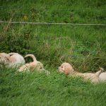 Ze verdwijnen bijna helemaal in het (hoge) gras