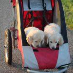 De twee meest rustige pups zitten in de 'open' kar (reutje 'zwart' (links) en reutje 'groen')