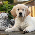 Lucan als pup